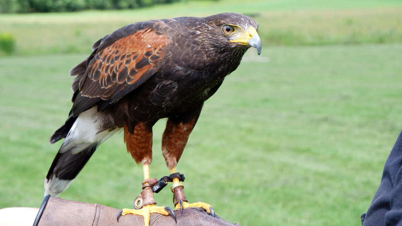 New England Falconry at the Woodstock Inn & Resort